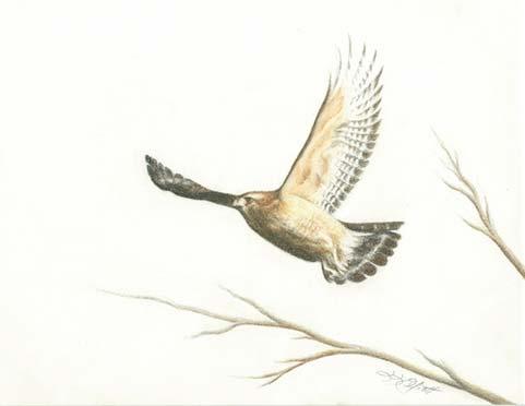 Red Shoulder Hawk Fine Art Print by Laura Elliott