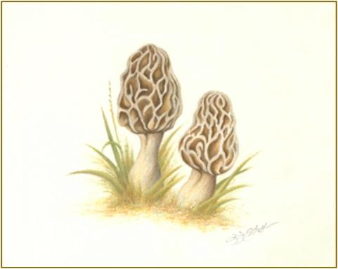 Morel Mushroom Fine Art Print by Laura Elliott